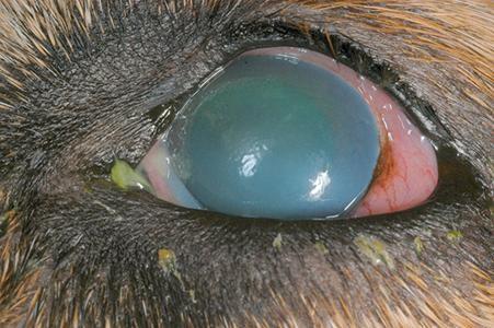 Chó bị mắt màu xanh