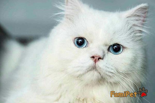 sữa tắm cho mèo lông trắng